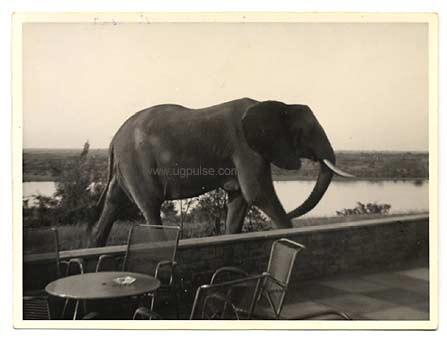 Elephant visiting the veranda of Paraa Lodge