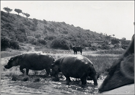 Hippoes with buffolo in the background