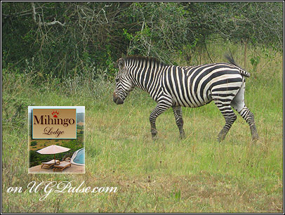 Zebra at Lake Mburo National Park