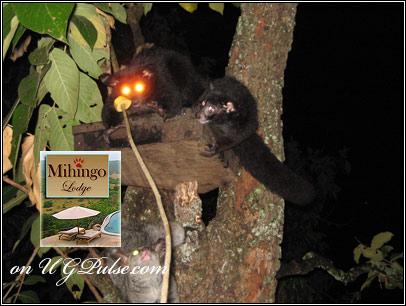 Bush Babies being fed at Mihingo Lodge