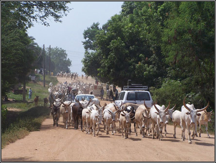 Juba, South Sudan - Cattle on street
